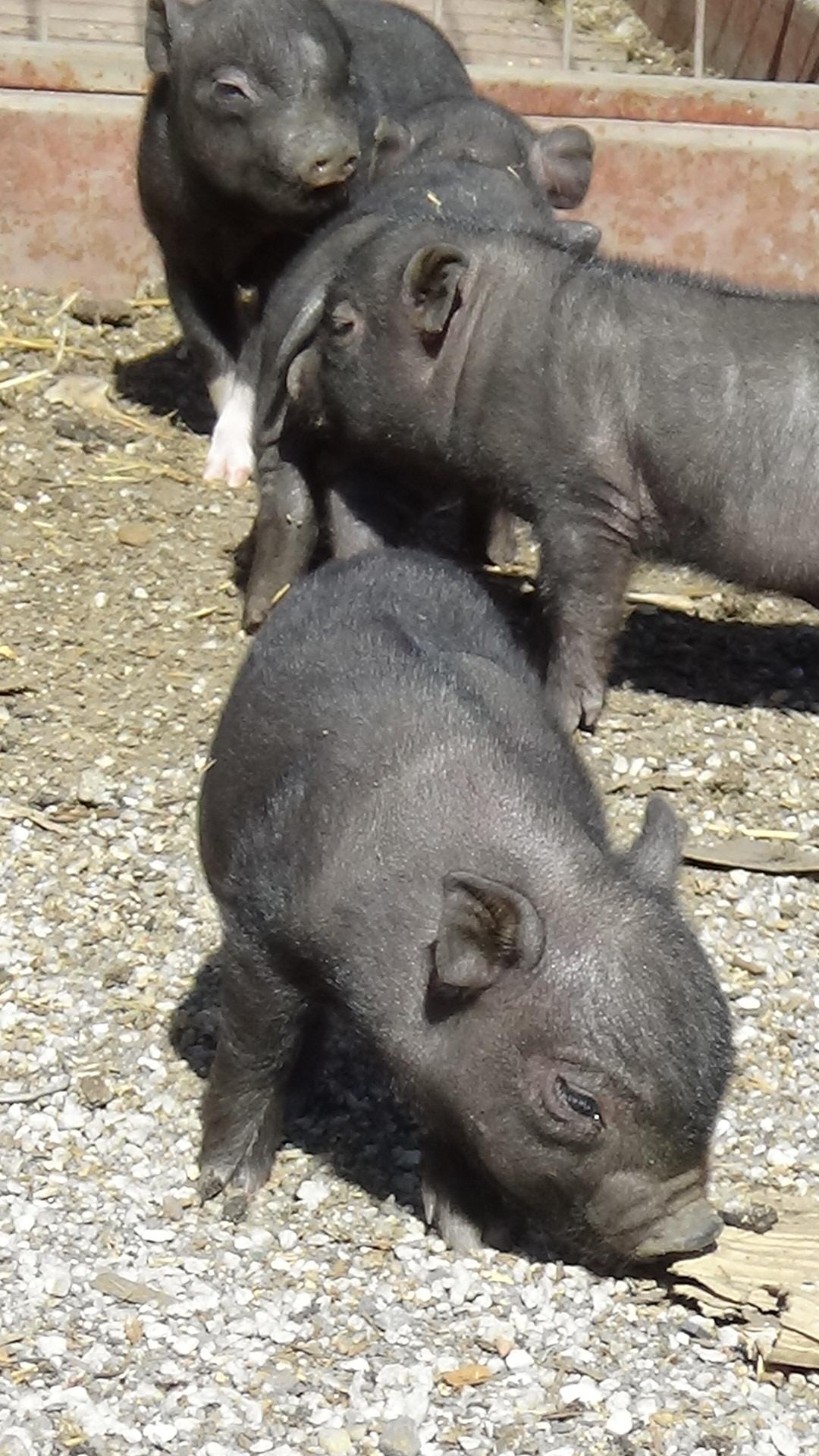 cerdos_vientamitas_12