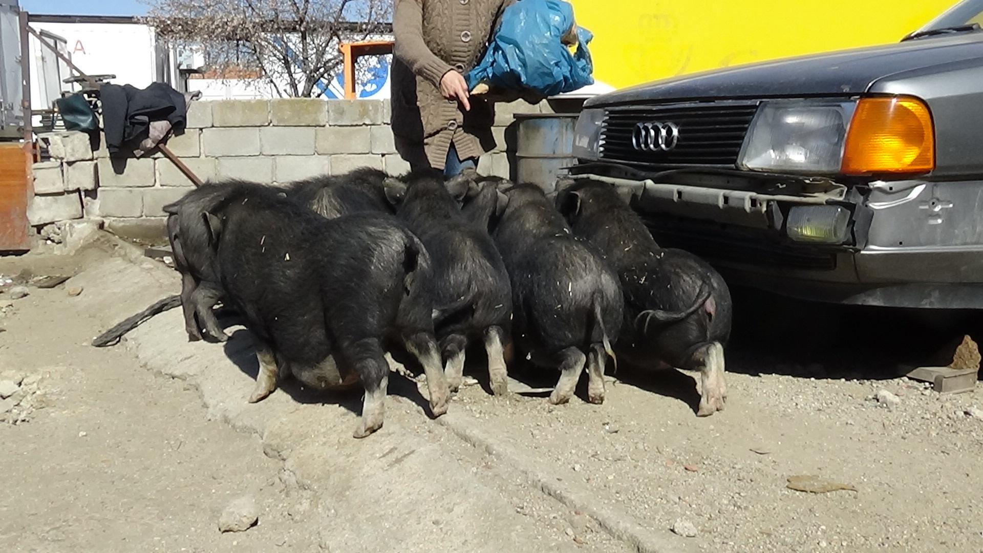 cerdos_vietnamitas