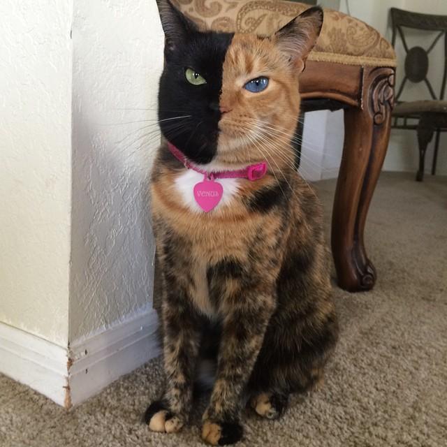 Venus, la gata de dos caras